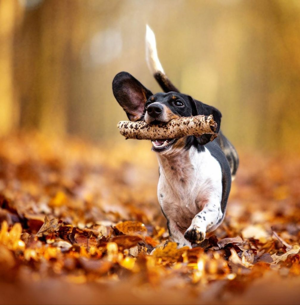 Dachshund with stick in mouth and running