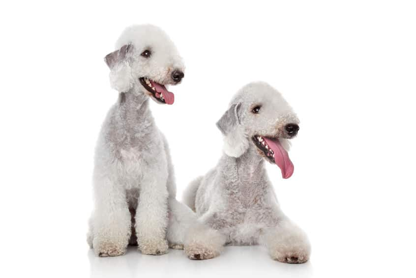 Two white bedlington terrier
