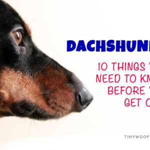 Thing you need to know about dachshunds