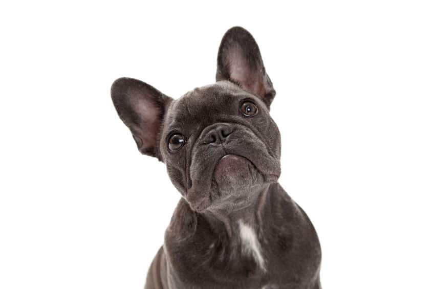 A cute little blue colour  French Bulldog