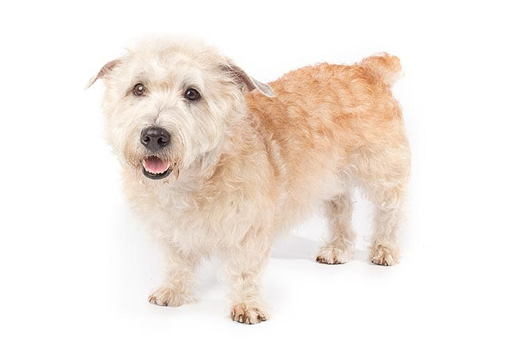 Glen of Imaal Terrier On White-01