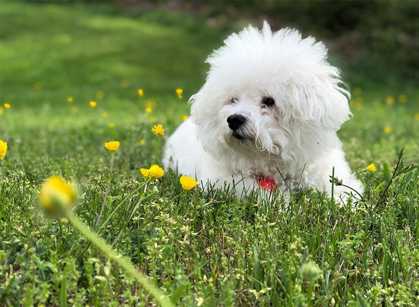 Bichon Frisé on a field