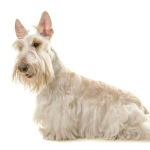 White scottish terrier dog seen from the side isolated on a white background