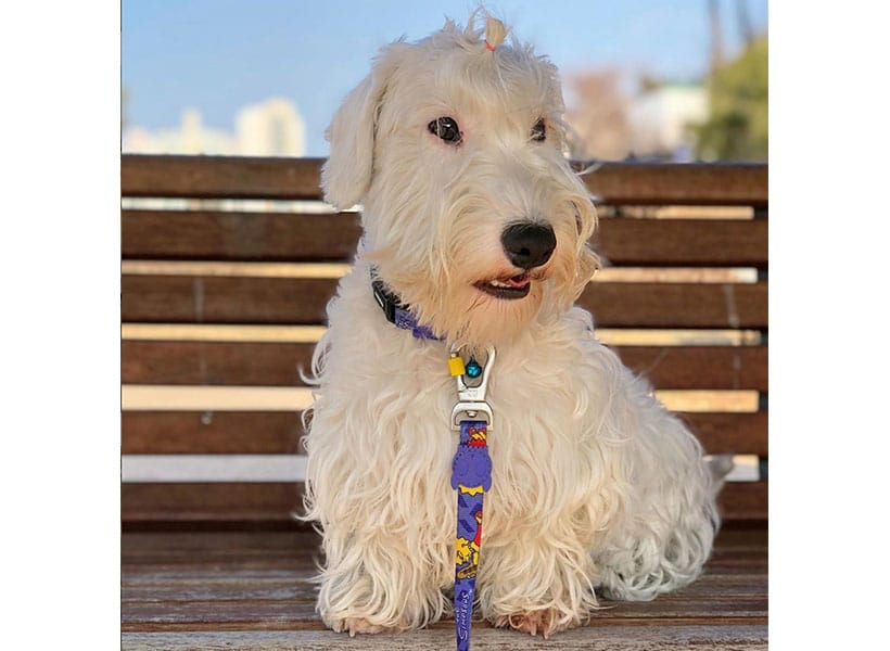 Sealyham Terrier on a bench