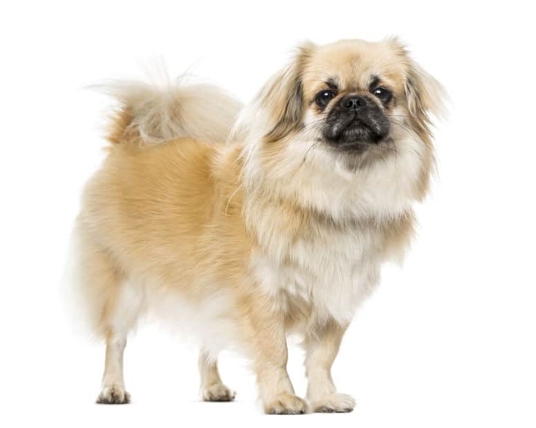 Tibetan Spaniel standing, isolated on white, 2 years old