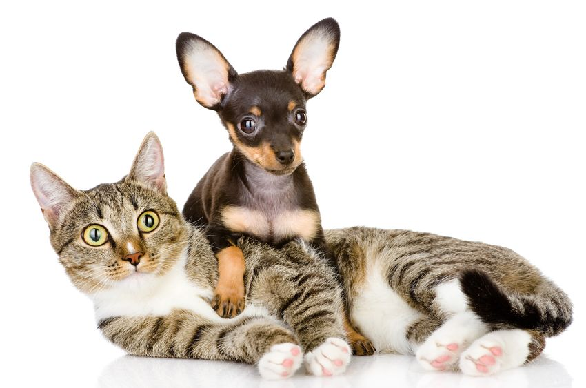 A Chihuahua and a Cat