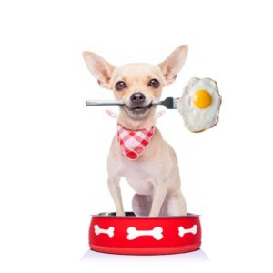 Chihuahua with a fork and egg