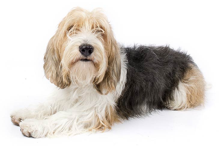 Petit Basset Griffon Vendeen PBGV approved by Susan Sprung  for American Kennel Club