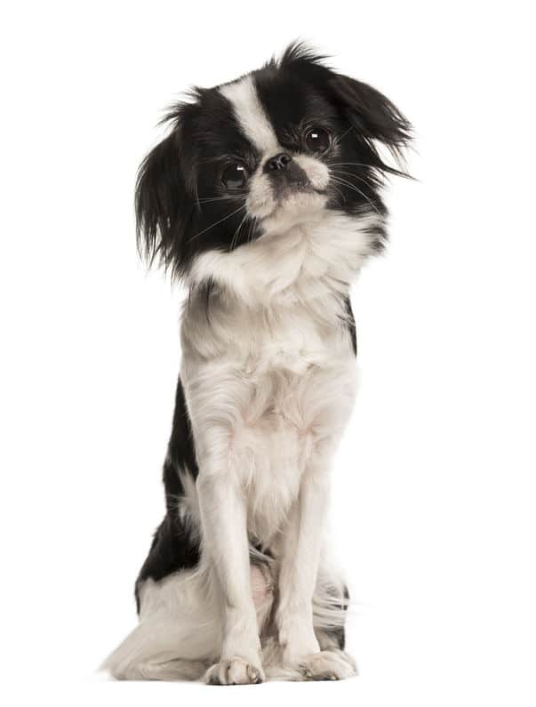 Japanese Chin on a white background
