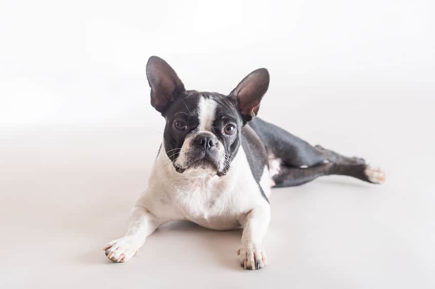 Boston Terrier lying down