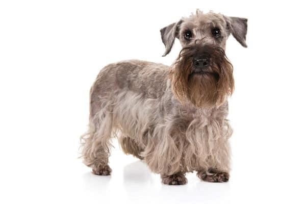 A cesky terrier on a white background