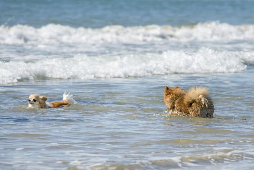 Chihuahuas swimming in the sea
