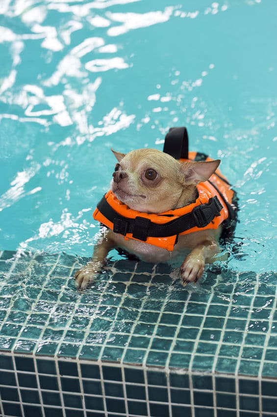 Chihuahua in pool with lifejacket on