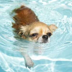 chihuahua swimming