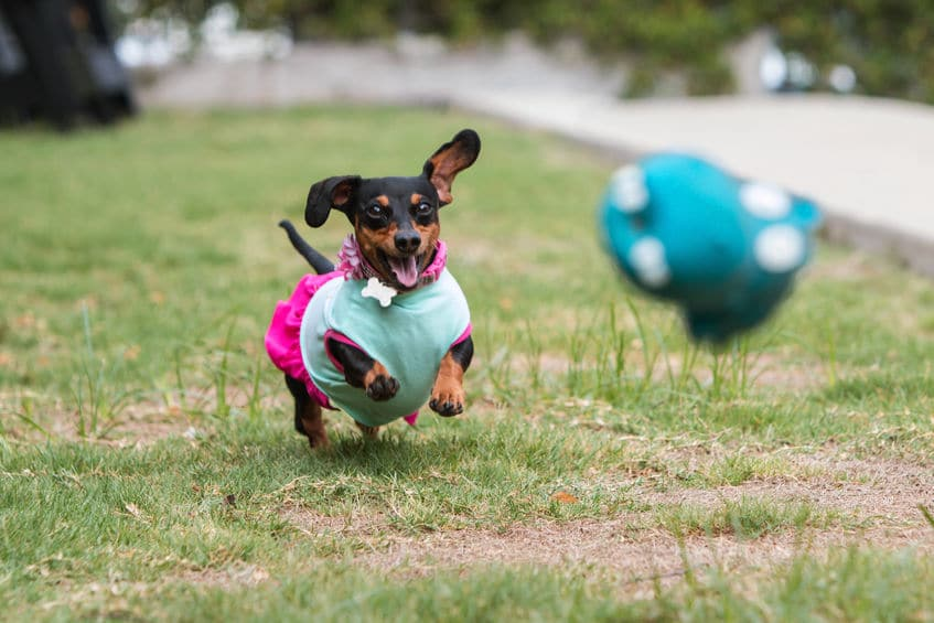 Dachshund Wearing Clothes Chases After Thrown Toy