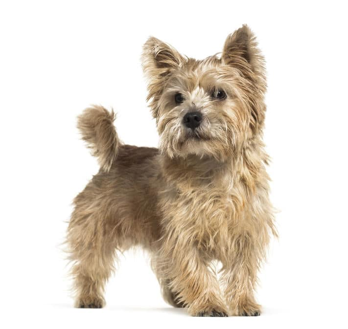 Norwich Terrier in front of white background