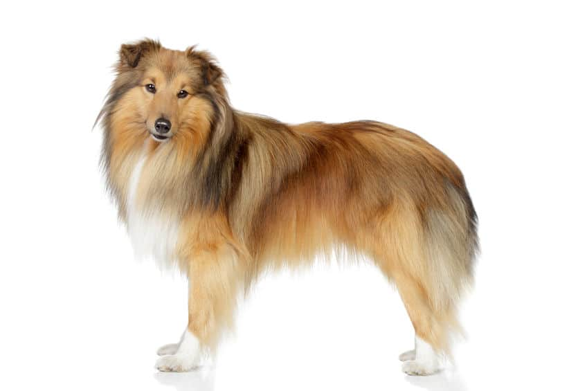 Shetland sheepdog set on a white background