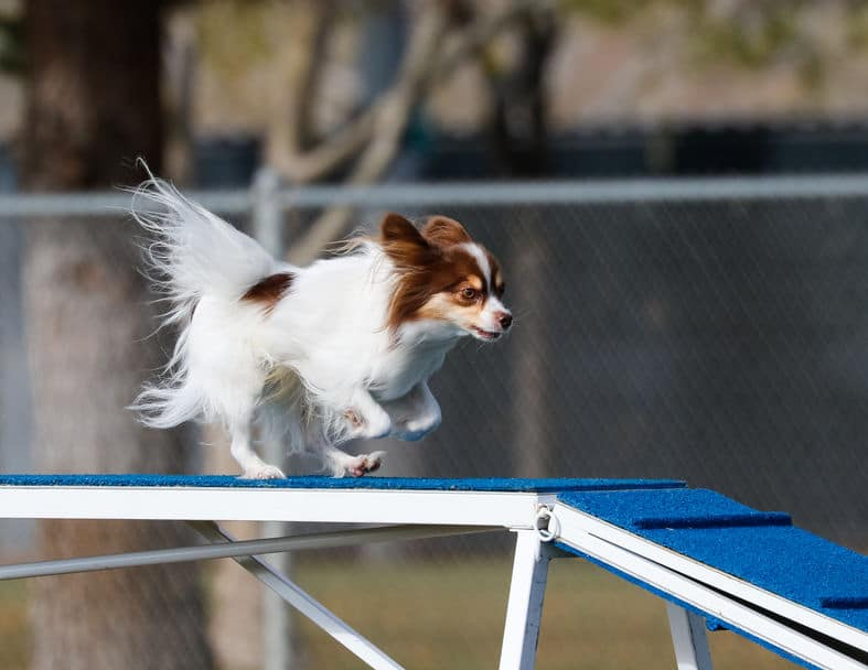 papillon running on a board