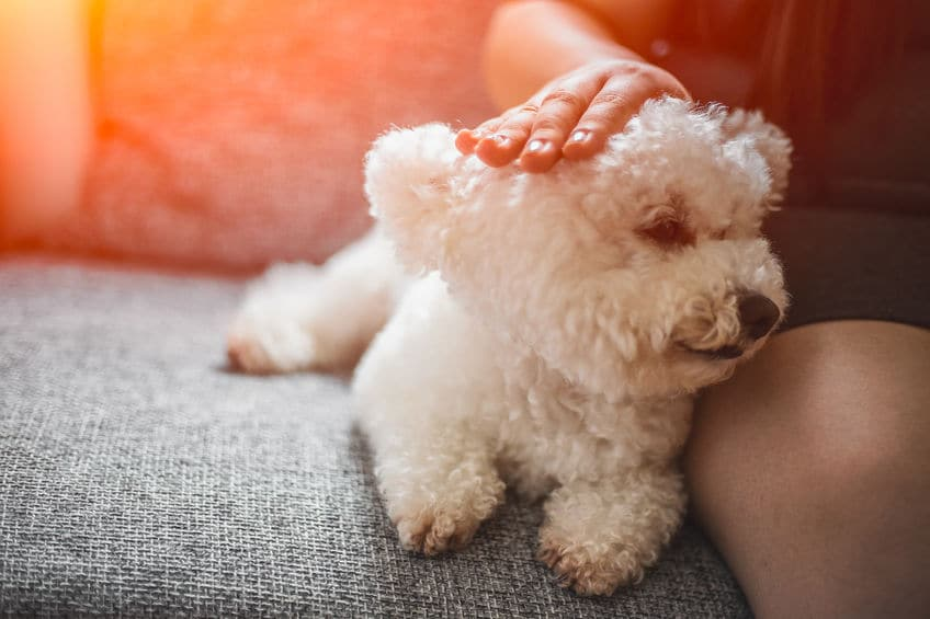 Purebred white Bichon Frisé dog sitting on the couch