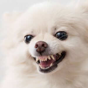 Angry white Pomeranian dog