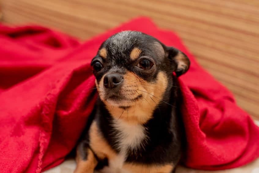 chihuahua under a red blanket
