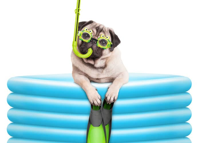 Pug in goggles and snorkel