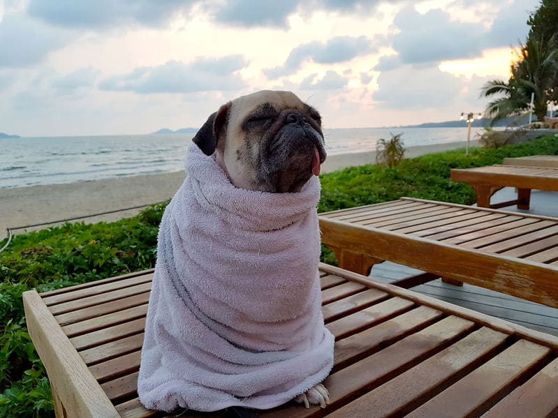 Cute Pug Dog Dries on the Beach After Swimming Wrap with Towel