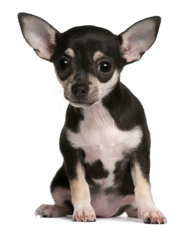 Black and White Puppy Chihuahua