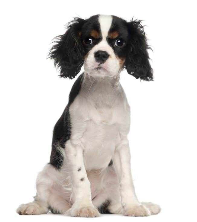 Black and White King Charles Cavalier