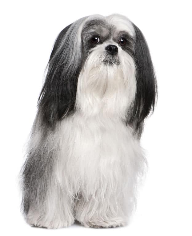 Black and White Lhasa Apso