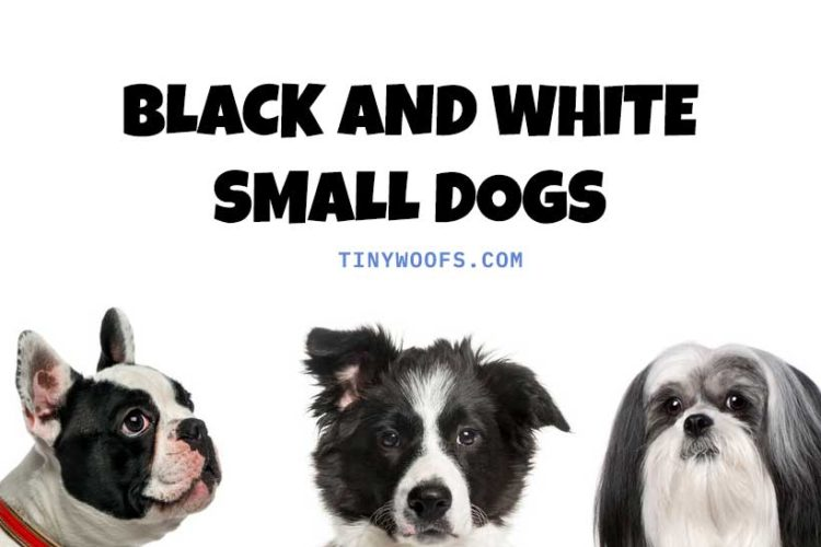 Black and White Small Dogs