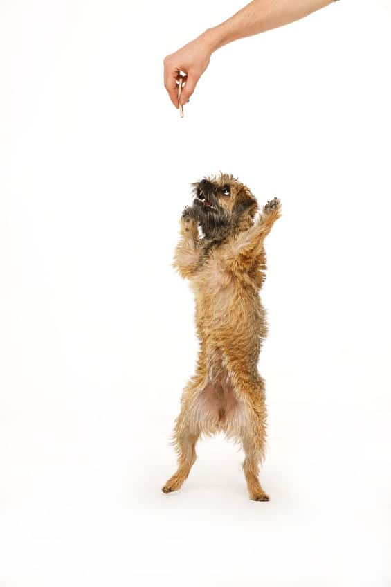 Border Terrier jumping for food