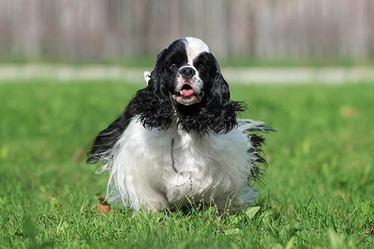 Black and White Cocker Spaniel running