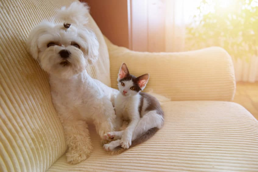 A Maltese and a little kitten sitting on a sofa at home