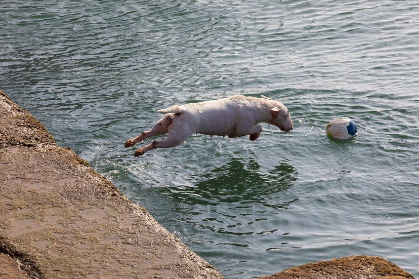 Can miniature bull terrier swim