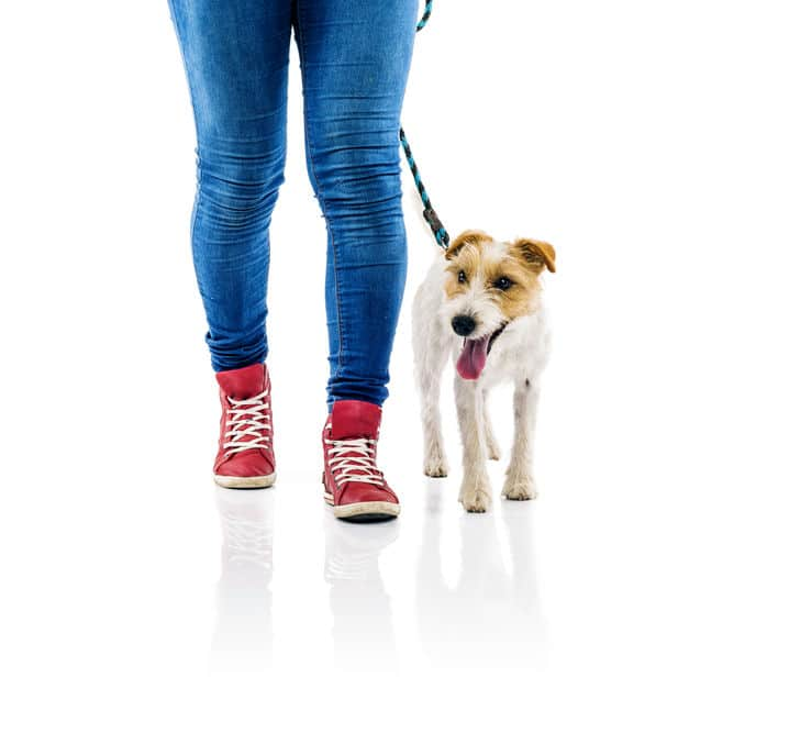 Parson Russell Terrier walking next to owner