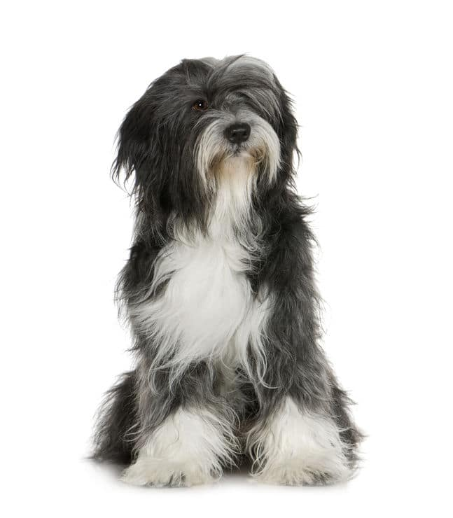 A black and white Tibetan Terrier
