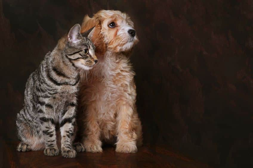 Cavapoo puppy with a Cat