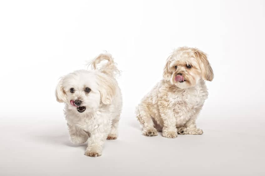 Morkipoo And Morkie Puppies