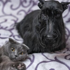 Scottish terrier getting along with a cat