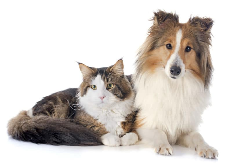 Sheltie and cat
