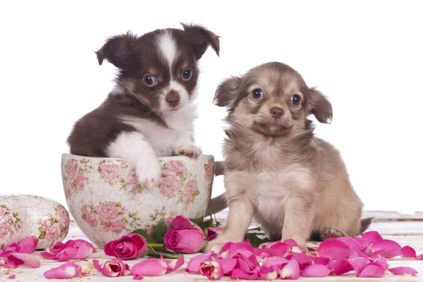 two teacup chihuahuas in a teacup