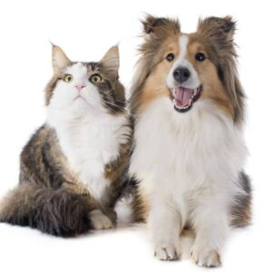 shetland dog and cat sitting