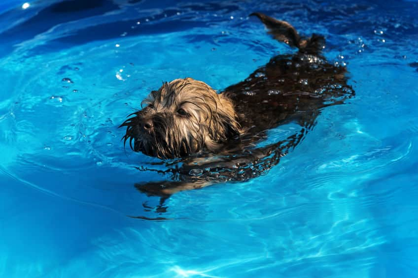 Havanese swimming in an outdoor pool